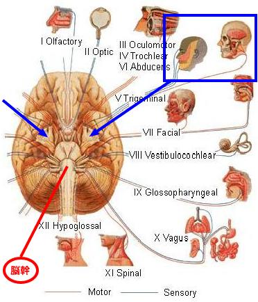 脳神経(三叉神経)